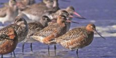 "BEIJING PROMISES ""Effective Protection"" for GODWIT WETLANDS — DVD IN WINGS"