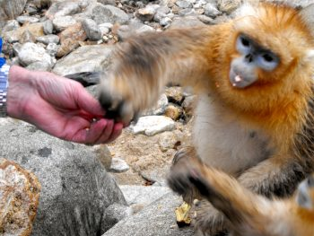 Golden snubnosed monkey being fed peanuts, Qinling Mountains, near Yangxian, Shaanxi province