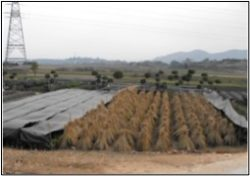 Protective straw-hat covers on plants, on Minjiang River plain, near Geqicun village, NW Fuzhou.