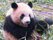 Panda NZCFS Tour