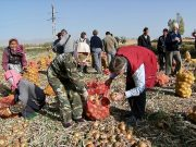 NZCFS projects tour group members assist with harvest at a Shandan Onion cooperative