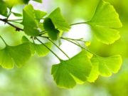 closeup of leaves on a gingko tree